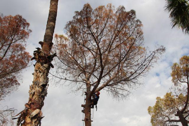 El deterioro de tres pinos secos en el Parque de La Cubana obliga a talarlos, Foto 1