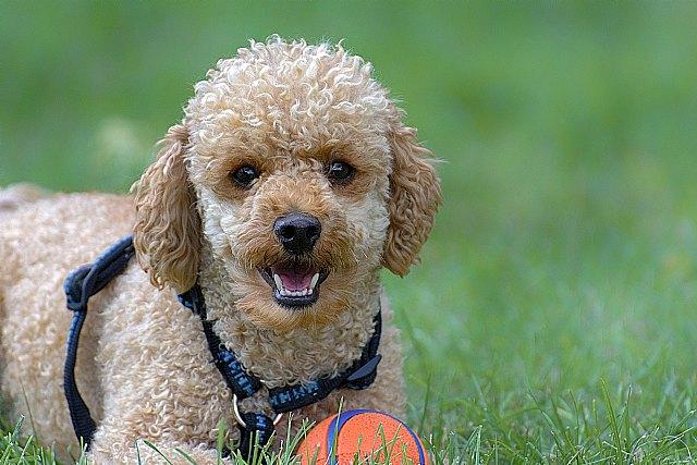 El caniche, un perfecto animal de compañía, según Mi caniche - 1, Foto 1