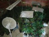 Localizado e incautado en Pliego un cultivo ilegal de 284 plantas de marihuana