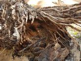 Cs exige mayores medidas de vigilancia y protección sobre el Palmeral de Zaraíche tras la aparición de dos ejemplares en mal estado