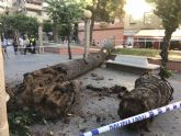 Se derrumba una palmera de 10 metros en Alcantarilla