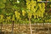 La producción de uva de mesa genera 120 millones y más de 15.000 empleos en la Región