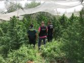 Nueva incautación de plantas de marihuana en Moratalla
