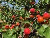 Retos y Oportunidades de la fruta de hueso en la Región de Murcia