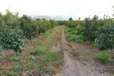 Las parcelas demostrativas de cultivo de caqui en la huerta de Murcia muestran su viabilidad tanto en ecológico como en tradicional