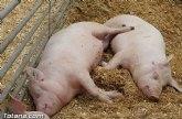 El sector porcino deber� superar las incertidumbres actuales para mantener su liderazgo