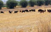 Se inicia el procedimiento para adjudicar los aprovechamientos de pastos en el Cabezo de la Rendija, propiedad del Ayuntamiento de Totana