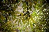 30 de septiembre: fecha clave para el seguro de olivar
