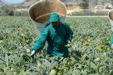 Alcachofa de España reclama ayudas directas para un sector primario 'en estado de alarma desde antes de la Covid-19'