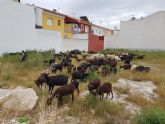 Un 'ejército' de más de 200 cabras limpiará de maleza los solares en La Algaida