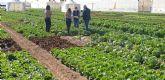 ¿Lechugas sólo para hamburguesas o snacks?: la innovación varietal hortícola brilla estos días en la Región de Murcia