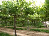 Desarrollan en Totana un proyecto sobre producción ecológica de uva de mesa sin semillas