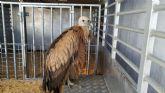 La Policía Local de Puerto Lumbreras rescata un ejemplar de buitre leonado