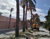 Realizan labores de poda y mantenimiento de la población de palmeras en la vía pública, parques y jardines