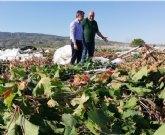 Solicitan que Totana sea incluido en las ayudas a los agricultores de uva de mesa por el episodio de lluvias y granizo del pasado 16 de agosto