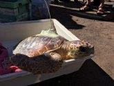 Liberadas tres tortugas bobas que fueron encontradas enredadas en sedales y plásticos en playas de La Manga y Cabo de Palos