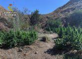 La Guardia Civil desmantela una plantación a campo abierto con 270 plantas de marihuana