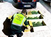 La Guardia Civil detiene a dos personas cuando transportaban 505 plantas de marihuana en un vehículo