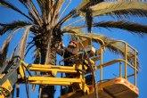Tareas de mantenimiento en palmeras y pinos contra el picudo rojo y la oruga procesionaria