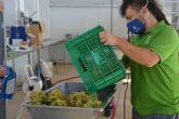 Comienza el prensado de uva para elaborar el vino Tomás Ferro