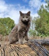 Las razas de gatos más buscadas en España