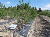 Agricultura desarrolla en Torre Pacheco tres proyectos sobre el almendro como alternativa  ante la escasez de agua