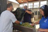 La UPCT vendimia un 25% más de uva Merseguera para su vino Tomás Ferro