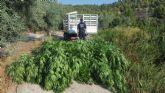 La Policía Local de Moratalla ha asestado un golpe al tráfico de drogas en el municipio al localizar una plantación de marihuana