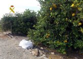 La Guardia Civil desmantela un nutrido grupo delictivo dedicado a la sustracci�n de limones en el Valle del Guadalent�n