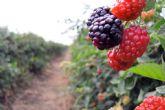 Las Berries de México: Un ejemplo en imagen de marca para el sector agroalimentario internacional