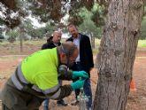 El Ayuntamiento protege sus más de 2.500 de pinos de la conocida oruga de la ´procesionaria´