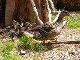 Terra Natura aumenta su familia de aves con el nacimiento de 15 crías de patos en plena primavera