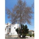 El Ayuntamiento de Bullas inicia investigaciones para identificar al autor del envenenamiento de un árbol platanero