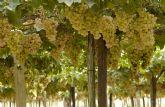 COATO espera la campana de la uva de mesa con gran expectación y confía en un producto de calidad