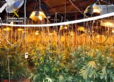 Operación 'SAN MARCOS'. Desmantelan un invernadero de marihuana en una nave agrícola de Raiguero Alto-Totana
