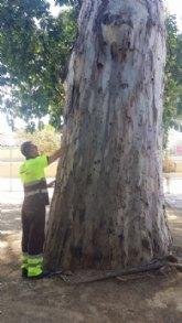 El Servicio de Parques y Jardines protege un centenar de eucaliptos con un tratamiento innovador