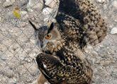 La Guardia Civil rescata en una finca de Ulea a un búho real herido