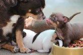 Unchihuahua, grandes consejos para cuidar de cualquier mascota