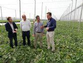 Arranca la recolección de las variedades extra tempranas de melón en la Región