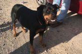 La Policía Local rescata a un Rottweiler que se encontraba desorientado en la Vereda de San Félix