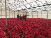Más de 4.500 flores y plantas procedentes de los viveros municipales engalanarán las zonas verdes lorquinas durante las fechas navideñas