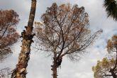 El deterioro de tres pinos secos en el Parque de La Cubana obliga a talarlos