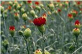El PP pide un plan de apoyo al sector de la flor cortada en la Región que impulse su proyección nacional e internacional.