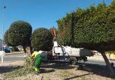 La tradicional poda de invierno llega a los árboles de Las Torres de Cotillas