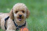 El caniche, un perfecto animal de compañía, según 'Mi caniche'
